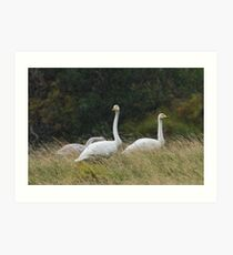 Whooper Swan Family in the Rain Art Print
