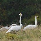 Whooper Swan Family in the Rain by kernuak