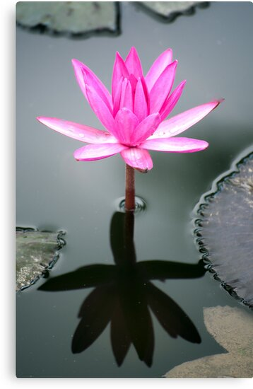 Tropical Diva - waterlilly flower by Jenny Dean