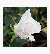 Vergelegen Rose Photographic Print