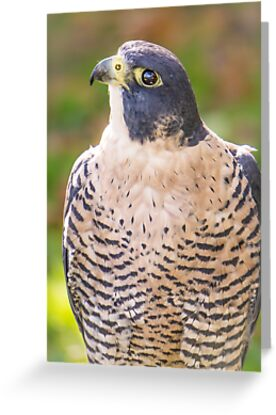 Peregrine Falcon by Jim  Hughes