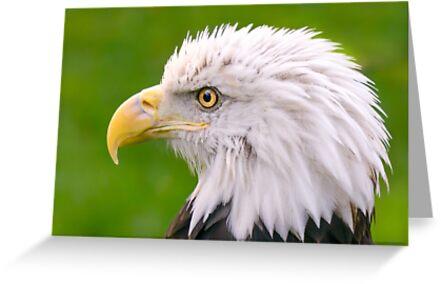 American Bald Eagle by Jim  Hughes