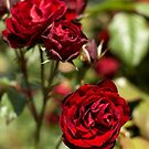 Red Roses by Belinda Osgood