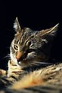 My Mini Wildcat Kitten by jodi payne