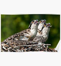 Osprey Chicks Poster