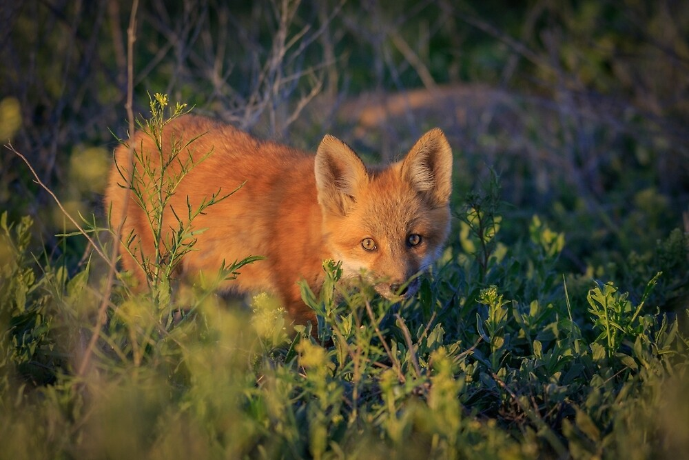 Red Fox Kit Creeping through the grass by wildaboutnature
