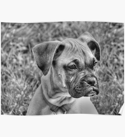 Baby Boxer  Poster