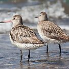 """""Bar-tailed Godwit'' by bowenite"