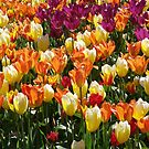 A Tulip Display by Jann Ashworth