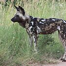 African Wild Dog by KAt-dan-Painter