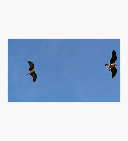 Black Kites in the Wind Photographic Print