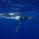 Humpback Whale, Vava'u, Tonga by Erik Schlogl