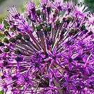 Allium aflatunense so intense by patjila