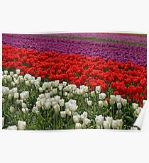 Colorful Fields Of Tulips Poster