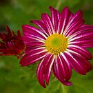 Purple Aster Flower Close up by Bo Insogna