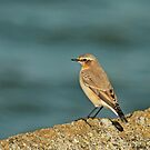Migrating Wheatear by Robert Abraham