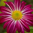 Purple Aster Flower Power by Bo Insogna