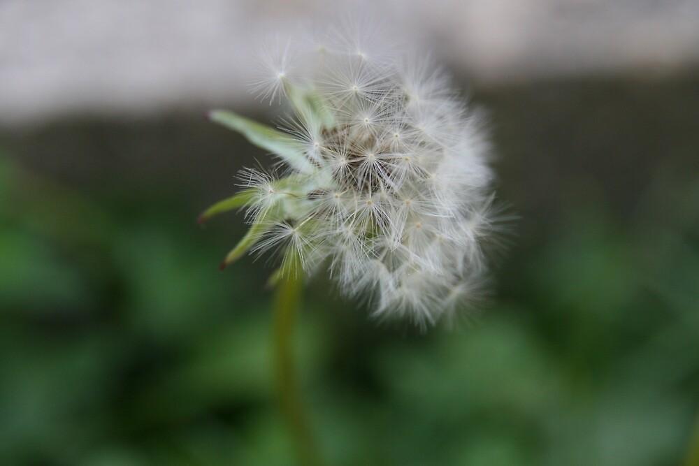 Dandelion by m-milisavljevic