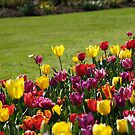 Tulips by Jay Armstrong