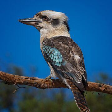 Kookaburra by biawak