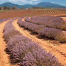 Bridestowe Lavender Farm by SusanAdey