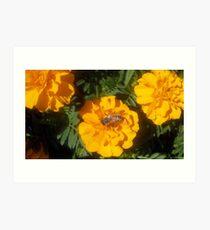 Bee Marigold visit Art Print