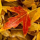 Red Maple Leaf by Bo Insogna
