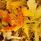Autumn Maple Leaves Abstract  by Bo Insogna