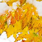 Hanging Autumn Leaves with Snow by Bo Insogna