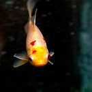 Gold Fish Swimming in Black Water by susan stone