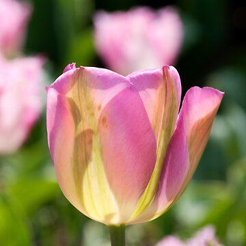 Pinky Green Tulips by Wealie