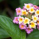 Lantana Flower by Alex Colcheedas