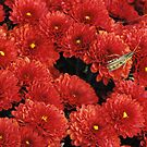Autumn Red Chrysanthemums by Sheri Nye