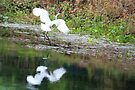 Great Egret and Reflection, Rainbow River by AuntDot