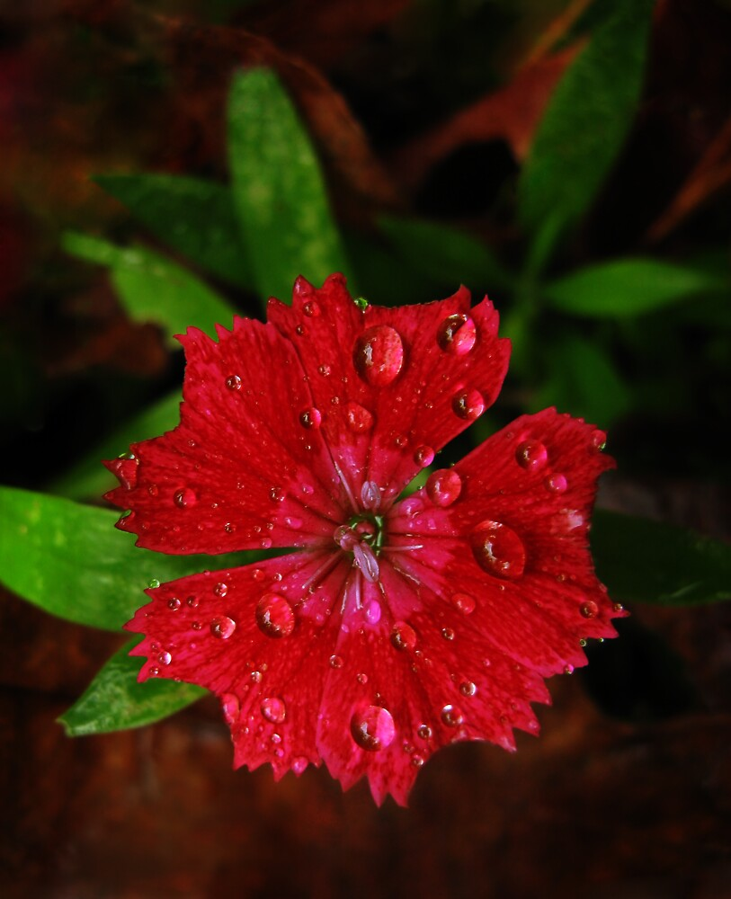 Red Dianthus With Raindrops by RocklawnArts