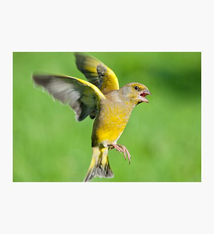 Greenfinch ~ In flight Photographic Print