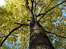 Ash Tree in Autumn by Artberry