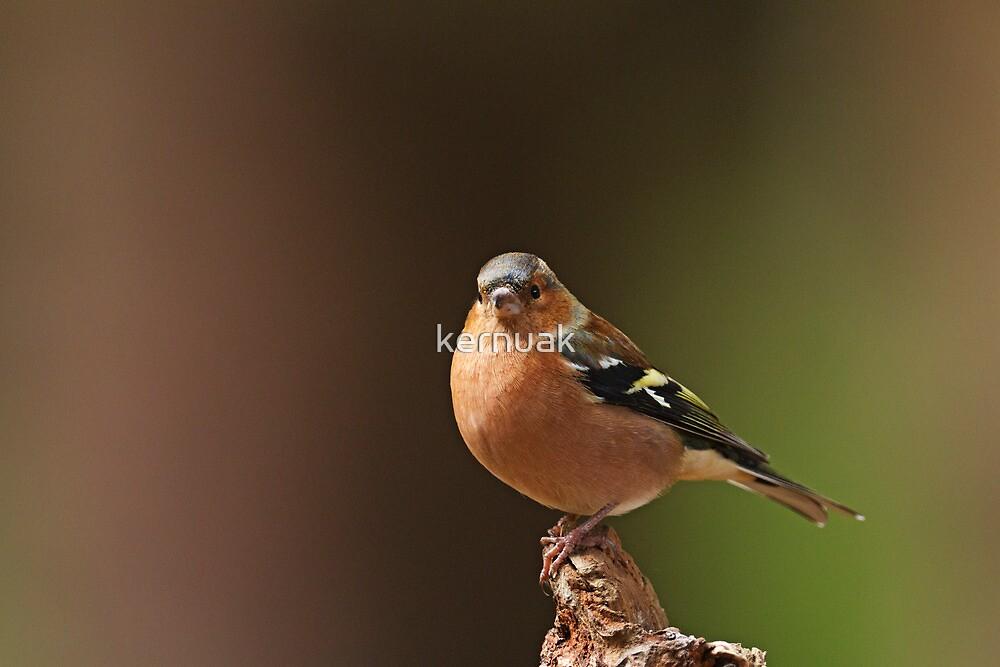 Male Chaffinch on Branch by kernuak