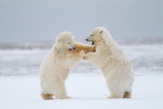 Rock 'Em, Sock 'Em Polar Bears by Gina Ruttle  (Whalegeek)