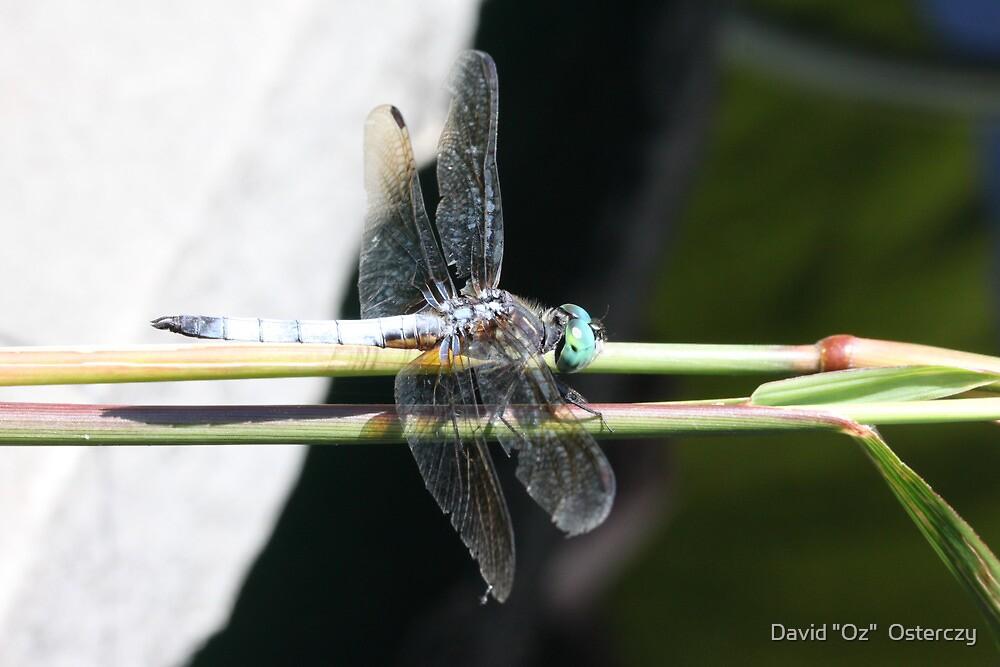 """Dragonfly is Still Shy by David """"Oz""""  Osterczy"""