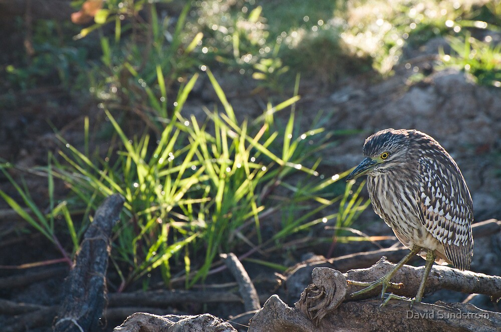 Nankeen Night Heron by David Sundstrom