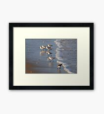 Piping Plovers Framed Print