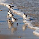 Piping Plovers 2 by Robin Black