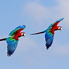 Scarlet Macaws in Flight by JulieM