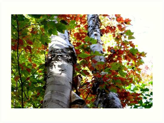 Colorful Fall Birch Trees by nadinestaaf