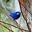 Blue Wren by JuliaKHarwood