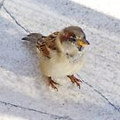 Portuguese House Sparrow by Susan Dailey