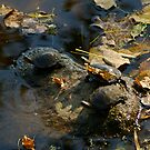 Trio of Turtles in October by Robin Clifton