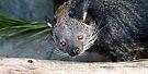 Bearcat by Jason Asher