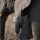 Sabi Sabi - Elephant & Calf by Samantha Bailey